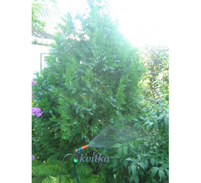 Туя  (Thuja occidentalis )