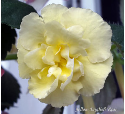 Ахіменес Єллоу Інгліш Роуз (Ahimenes 'Yellow English Rose')